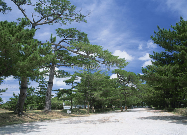 琉球松並木の写真素材 [FYI03303961]