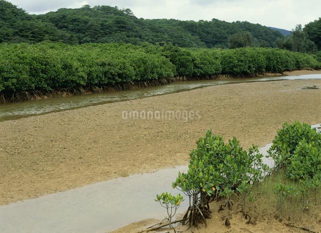 慶佐次湾のマングローブの写真素材 [FYI03303981]