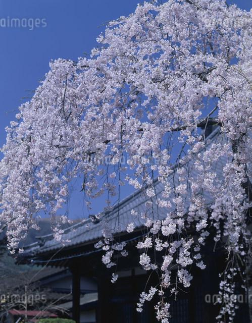 枝垂れ桜の写真素材 [FYI03303986]