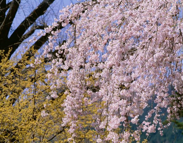 枝垂れ桜の写真素材 [FYI03304005]