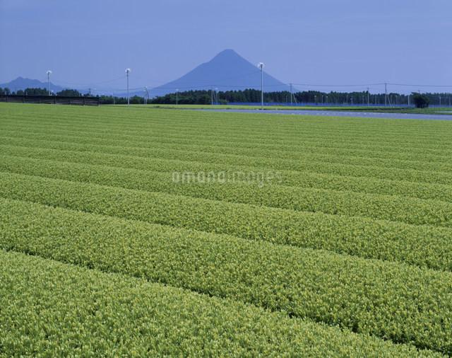 知覧茶畑の写真素材 [FYI03304019]