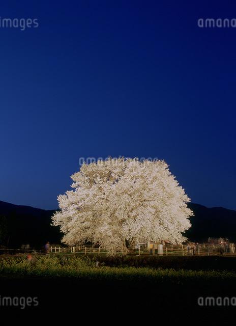 一心行の桜の写真素材 [FYI03304128]