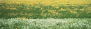 菊池川河畔菜の花 3月 玉名市の写真素材 [FYI03304576]