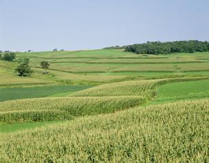 とうもろこし畑 アルファルファ畑と大豆畑の写真素材 [FYI03305144]