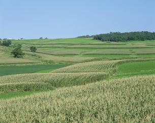 とうもろこし畑 8月 アイオワ州 アメリカの写真素材 [FYI03305804]