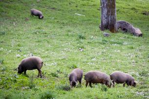 放し飼いされたイベリコ豚の写真素材 [FYI03306116]