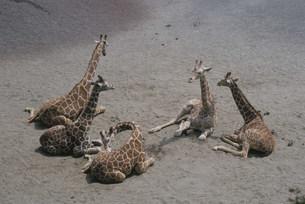 キリン 多摩動物園の写真素材 [FYI03307075]