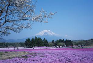 富士山と芝桜の写真素材 [FYI03307166]