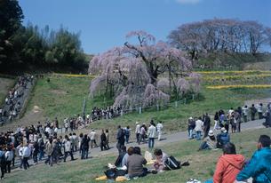三春の滝桜の写真素材 [FYI03307172]