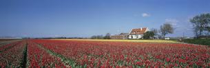 民家とチューリップ畑  リセ郊外 オランダの写真素材 [FYI03310496]