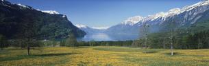 ブリエンツ湖とタンポポ畑     スイスの写真素材 [FYI03310497]