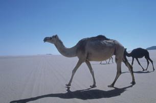 ラクダ 東部の砂漠にての写真素材 [FYI03312656]