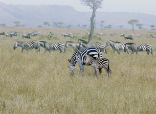 シマウマ マサイマラ動物保護区の写真素材 [FYI03312734]