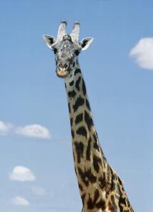 キリン マサイマラ動物保護区の写真素材 [FYI03312735]