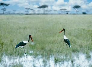 湿原にクラハシコウ マサイマラ動物保護区の写真素材 [FYI03312739]