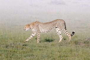 チーター マサイマラ動物保護区の写真素材 [FYI03312753]