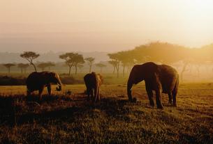 象の群れ マサイマラ動物保護区の写真素材 [FYI03312759]