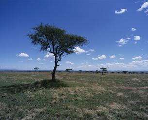 サバンナと雲 ケニアの写真素材 [FYI03312898]