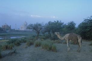 タジマハールの夜明けの写真素材 [FYI03312930]