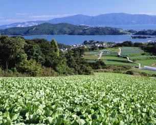 白菜畑と瀬戸内の写真素材 [FYI03313375]