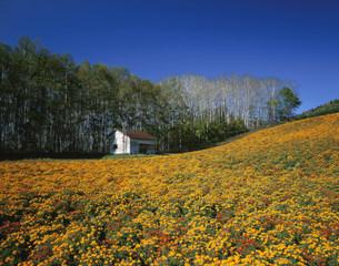マリーゴールドの丘の写真素材 [FYI03313757]