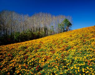 マリーゴールドの丘の写真素材 [FYI03313777]