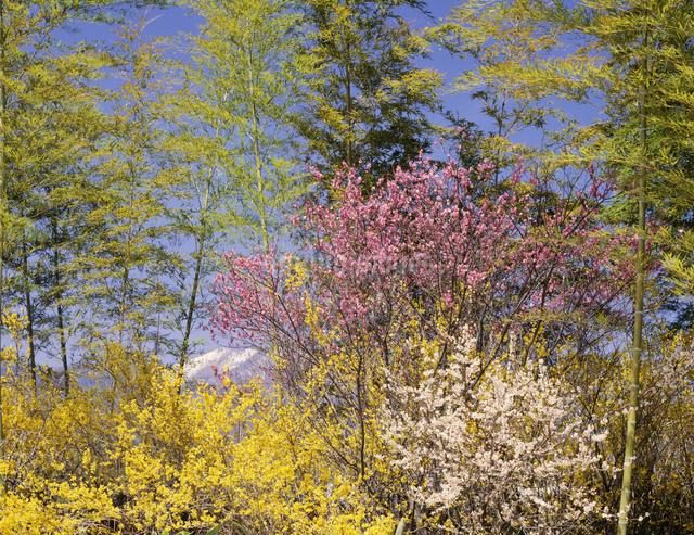 梅とレンギョウと竹林の写真素材 [FYI03314169]