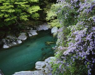 藤の祖谷渓の写真素材 [FYI03314277]