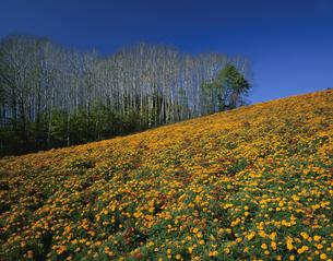 マリーゴールドの丘の写真素材 [FYI03314566]