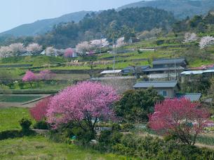 花桃や桜の咲く山里の写真素材 [FYI03314918]
