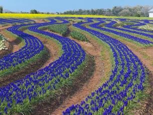 世羅高原農場 ムスカリの丘の写真素材 [FYI03314935]