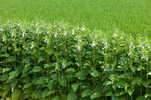 黒ごまの花の写真素材 [FYI03315269]