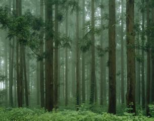 妙高高原の杉林の写真素材 [FYI03316182]
