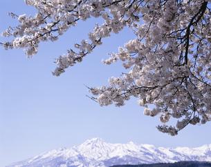 妙高山と桜の写真素材 [FYI03316415]