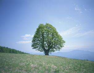 新緑のシナノキ1本 5月の写真素材 [FYI03316515]