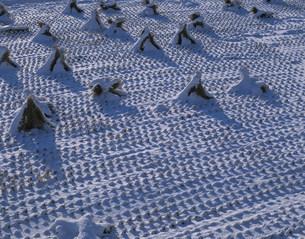 初雪の稲株の写真素材 [FYI03316823]