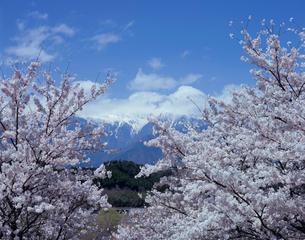 桜と雪山の写真素材 [FYI03316969]