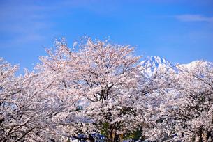 雪の妙高山とさくらの写真素材 [FYI03317974]