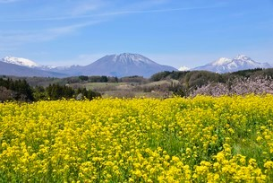 菜の花と北信濃の山の写真素材 [FYI03318319]