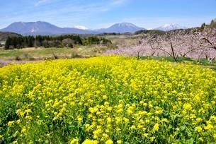 菜の花畑と北信濃の山の写真素材 [FYI03318342]