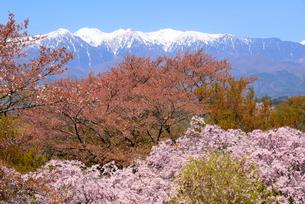 桜と中央アルプス南駒ヶ岳、空木岳の写真素材 [FYI03318738]