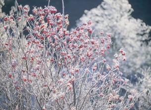 八幡高原 千町原の霧氷の写真素材 [FYI03319199]