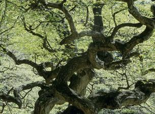 テングシデの新緑の写真素材 [FYI03319248]