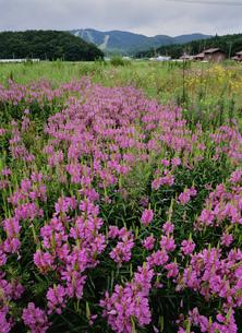 花咲く八幡高原の写真素材 [FYI03319321]