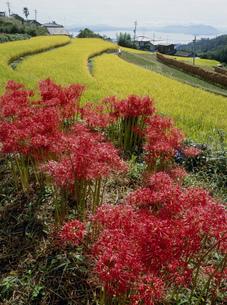 彼岸花の咲く風景の写真素材 [FYI03319329]