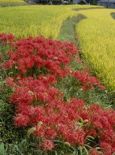 彼岸花の咲く風景の写真素材 [FYI03319336]