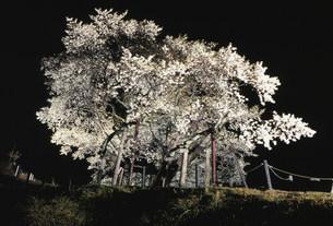 国天然記念物の大平桜の写真素材 [FYI03319466]