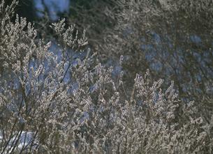 ヤナギの芽吹き 立岩ダム湖畔 広島県の写真素材 [FYI03319573]