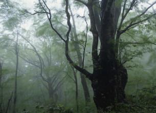 ブナ林の霧景 臥竜山の写真素材 [FYI03319585]