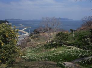六島のスイセンと六島港遠望の写真素材 [FYI03319629]